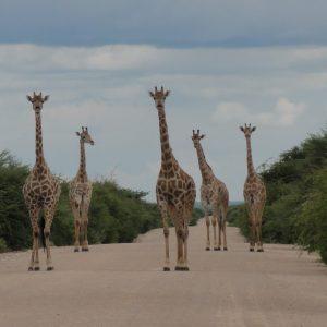 Touristentour in Namibia, Giraffen